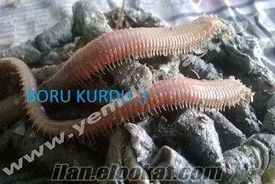 Canlı Boru Kurdu