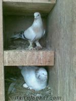 izmitte sahibinden satılık oyun kuşları