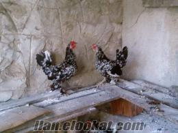 kırklareliden satılık cin tavukları ve civcivleri
