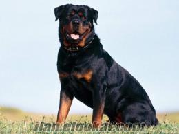rotvaydır köpeğimi çiftleştirmek istiyorum
