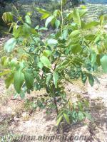 manisa som da 814 dönüm ceviz bahçesi satılıktır.