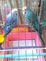 istanbuldan sahibibinden satılık muhbbet kuşu