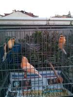Bayrampaşada satılık kanaryalar
