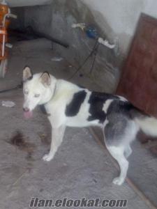 tarsusda sahibinden satılık sibirya köpeği