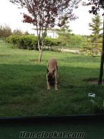 Ankarada sahibinden secereli belçika kurt köpegi