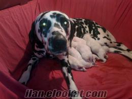 satılık dalmaçyalı yavru köpekler