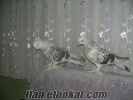 Bursa Görüklede şebap güvercin