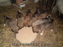 samsunda süper kangal yavruları