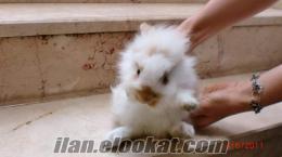 hollanda lop tavşan dişi ve erkek sahibinden satılık