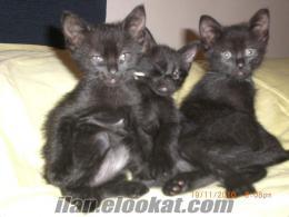 siyam kırması tatlı siyah kediler