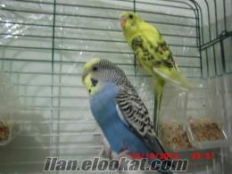Sarı Lacivert 2 muhabbet kuşu