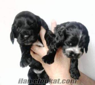 izmirde satılık cocker bebekleri