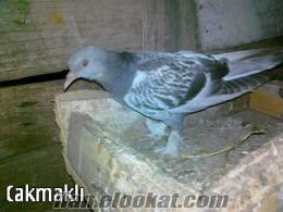 edirnede sahibinden satılık güvercin