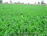 caramba , caramba mix tek yıllık yem bitkisi tohumu