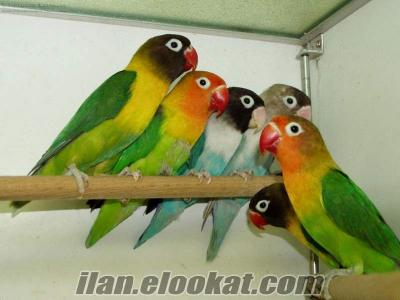 İzmir Aliağa 25 çift yumurtlayan cennet-sevda papağan