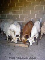 Dikilide satılık keçi