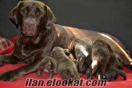 Sahibinden Çukulata Labrador Yavruları