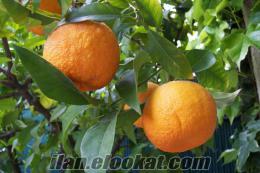 Kozanda turunç satışı