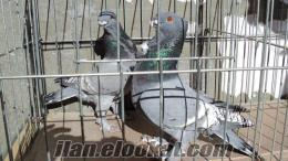 Osmangazide süs güvercinleri