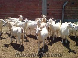 5-6 kg. Süt veren Zana Keçileri Fiyat uygun Olup Acilen Satılıktır...