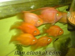 Ynt: Uygun Fiyata Satılık Papagan Balıkları (Resımlı-Bursa)