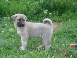 sivasdan satılık kangal köpeği