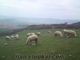 Balıkesirde satılık sakız koyunlar