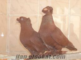 satlık ankutlar kahverengi damızlık veya yavru