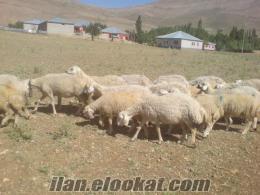 satılık 1. sınıf kangal koyunu