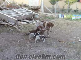amasyada sahibinden satılık kurzhaar yavruları