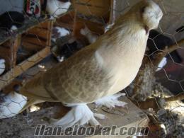 antalya dan acil toptan satılık güvercinler