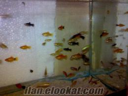 Bursada satılık canlı doğuran balıklar