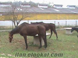 kiralık at ahırları 4x4 =16 m2 seyis lojmanları 60m2