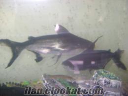 etçil köpek balıkları