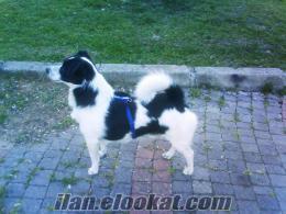 1 buçuk yaşında border collie köpeğim kayıp
