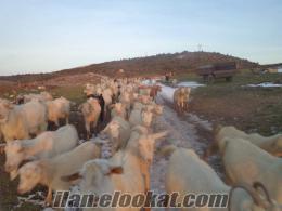 satılık saanen keçisi 120 adet 72000 tl tanesi 600 tl tane olarakta satılır