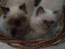 Satılık Himalayan İran kedi yavruları