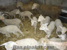 Safkan Tahirova Kuzulu Koyun Sürüsü Adet: 950 Tl