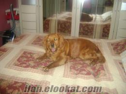 istanbulda yüzde 85 goldın yüzde 15 kukır kırması köpek