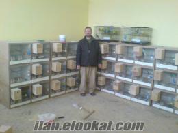 satılık muhabbet kuşu üretimhanesi
