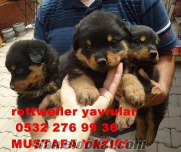 2011 rottweiler türkiye ırk şampiyonu saf kanından rottweiler yavrular