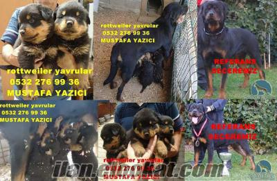 satılık rottweiler yavruları