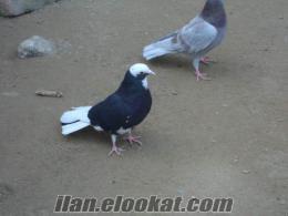 Sahibinden Satılık Süper Dönek Güvercinleri