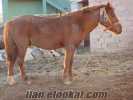 Niğde Borda satlık rahvan at