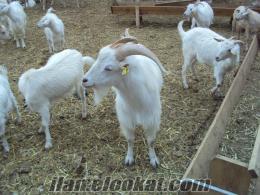 akşehirde sahibinden satılık gebe saanen keçileri