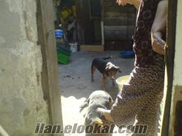 istanbul k.çekmecede satılık 2 tane kopay(tavşancı) av köpekleri