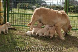 K9 Avrupa Evcil Hayvan Çiftliğinden Orijinal Satılık Golden Retriever Yavruları