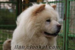 K9 Avrupa Evcil Hayvan Çiftliğinden Satılık Chow Chow Yavruları