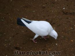 adana yerlisi güvercinler