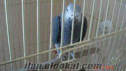 silivride satılık Jako papağan